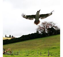 Kookaburra --  Jamberoo Photographic Print