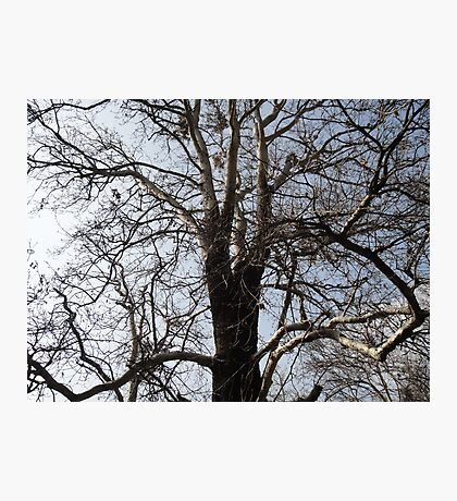 Old Tree Without Leaves Photographic Print