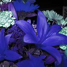 I have the blues - blue lilies that is !!! by Jane Neill-Hancock