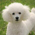 I Love My Poodle by lorilee