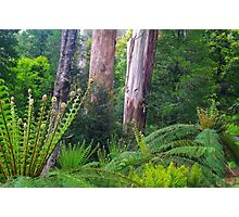 Mountain Ash and Tree Ferns Photographic Print