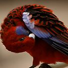 Feathers care for beauty!...Crimson Rosella by Reneefroggy