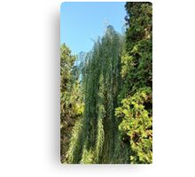 willow and two fir trees Canvas Print