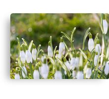 Snow Drops Canvas Print