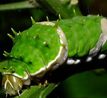 Orchard Swallowtail Caterpillar by Gabrielle  Lees