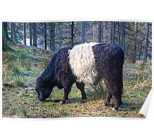 The Belted Galloway Poster