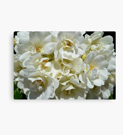 Cluster of white roses Canvas Print