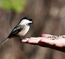 Black-Capped Chickadee by Richard Labelle