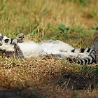 sun bathing ring tailed lemur  by liza scott
