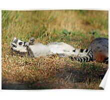 sun bathing ring tailed lemur  Poster