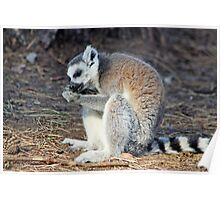 lemur having a snack Poster