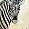 MY ZEBRA BABY - Burchell&#x27;s zebra by Magaret Meintjes