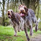 Italian Spinone Dogs Luca & Nico by heidiannemorris