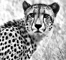 THE CHEETAH - Acinonyx jabatus  by Magaret Meintjes