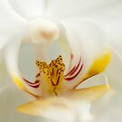 Inside the Orchid by jckiss