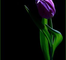 Tulip - Painted with Light 1 by janrique
