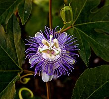 Passion Flower by erindobo