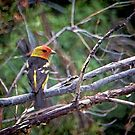 Western Tanager by CarolM