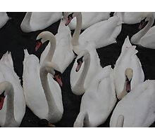 swan on swan on swan Photographic Print