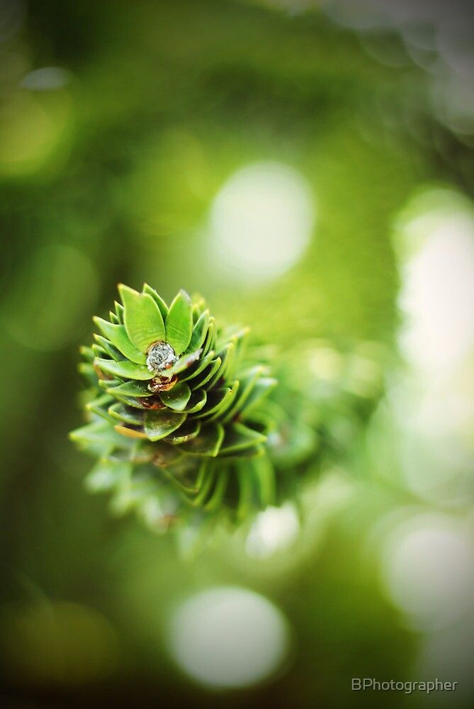 Monkey Puzzle 2 by BPhotographer