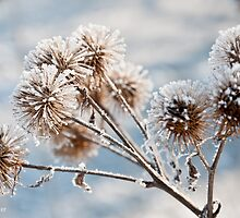 Frosty Thistle Head [Macro] by rexhank