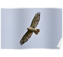 Red-Tailed Hawk Adult Poster