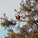 Redtail Hawk Preening by afroditi katsikis
