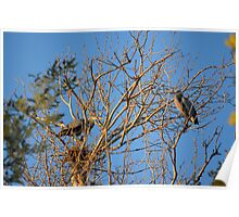 Mated Pair of Great Blue Herons Poster
