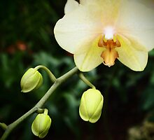 Hope Orchid by isopodgirl