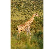 reticulated giraffe - pilanesburg, south africa Photographic Print