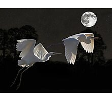 Two Great Egrets  Photographic Print