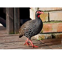 Francolin walking in. Photographic Print