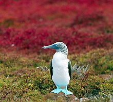 Blue-footed Booby, Islas Plaza, Galapagos by parischris