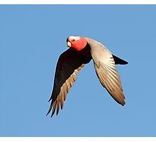"""""""Just a Galah in the Afternoon Sun"""" Photographic Print"""