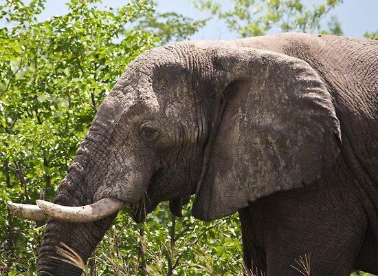 Ele.-   African Savanna Elephant (Loxodonta africana) by LG2001