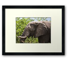 Ele.-   African Savanna Elephant (Loxodonta africana) Framed Print