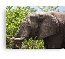 Ele.-   African Savanna Elephant (Loxodonta africana) Canvas Print