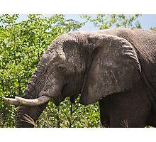 Ele.-   African Savanna Elephant (Loxodonta africana) Photographic Print