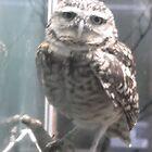 Owl/London Zoo -(190212)- digital photo by paulramnora