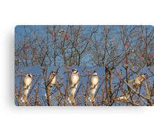 Blue Jays (Without the Blue) Canvas Print