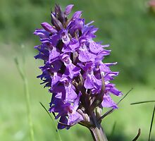 The Marsh Orchid by Barrie Woodward
