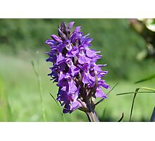 The Marsh Orchid Photographic Print
