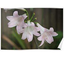 White Belladonna Lily Poster