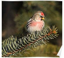 Common Redpoll on Spruce Poster
