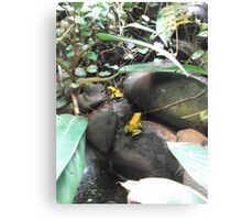 London Zoo/Reptile House/Poisonous Frogs(1 of 2) -(190212)- digital photo Canvas Print
