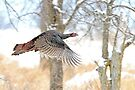 As God as my Witness... Wild Turkeys can fly! by Jim Cumming
