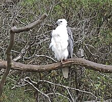 White-Bellied Sea-Eagle, Haliaeetus Leucogaster by Margaret  Hyde