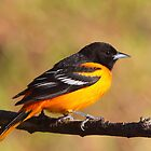 A Burst Of Orange / Baltimore Oriole by naturalnomad