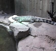 London Zoo/Crocodile/(1 of 2) -(190212)- digital photo by paulramnora