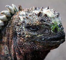 Marine Iguana, Santa Fe, Galapagos by parischris